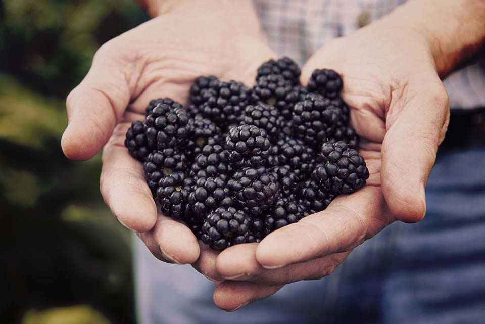Close Up Of Man Holding Freshly Picked Blackberries